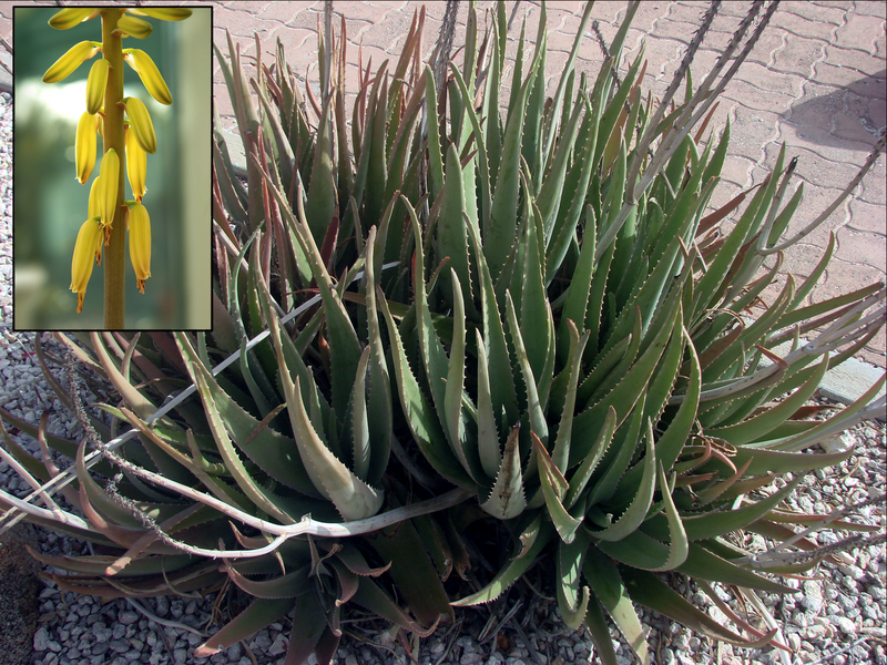 File:Aloe.png